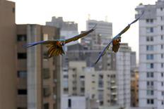 Unos guacamayos sobrevolando unos edificios en Caracas, mar 31 2015. En la década de 1970, al pie de las verdes montañas que protegen Caracas, un inmigrante italiano alcanzó la fama tras ser perseguido, sin razón aparente, por un veloz guacamayo cada vez que conducía su moto por la ciudad. REUTERS/Jorge Silva
