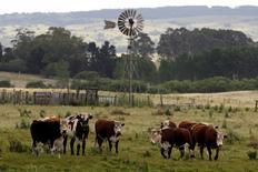 Vacas pastando cerca de la ciudad de Minas, al noroeste de Montevideo, 5 de diciembre de 2011. La economía uruguaya creció un 4,0 por ciento interanual en el trimestre enero-marzo de 2015, impulsado por la producción de celulosa y menores gastos en generación eléctrica, dijo el lunes el banco central. REUTERS/Andres Stapff