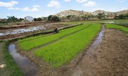 Un granjero planta semillas de arroz en un campo a las afueras de Antananarivo, Madagascar, el 30 de octubre de 2013. Los precios globales de los alimentos cayeron en julio a su nivel más bajo en casi seis años gracias a una baja en los costos de los lácteos y del aceite vegetal, dijo el jueves la Organización de las Naciones Unidas para la Alimentación y la Agricultura (FAO). REUTERS/Thomas Mukoya