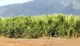 Un cañaveral cerca de Kahalui, EEUU, jul 28 2015. Los futuros del azúcar sin refinar cayeron el lunes a su mínimo en siete años y el café arábiga cedió un 4 por ciento hasta su nivel más bajo en más de 18 meses, después de que el temor a una desaceleración económica liderada por China provocó pérdidas generalizadas en los mercados de materias primas.   REUTERS/Marco Garcia