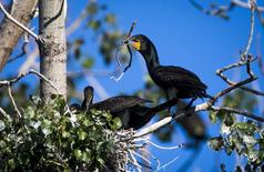 Double-crested cormorants nest at Tommy Thompson Park in Toronto, in this file photo taken June 24, 2015. REUTERS/Mark Blinch/Files