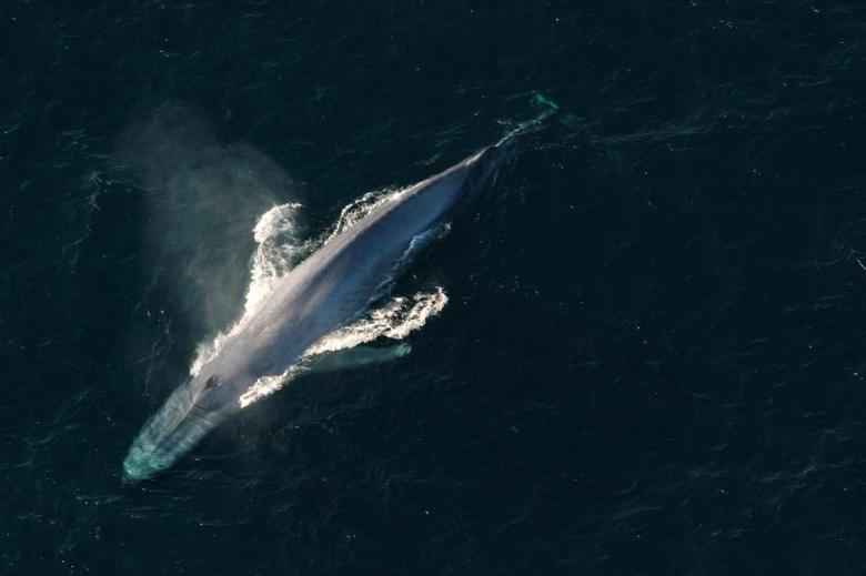 A blue whale surfaces to breathe in an undated picture from the U.S. National Oceanic and Atmospheric Administration (NOAA).    REUTERS/NOAA/Handout via Reuters