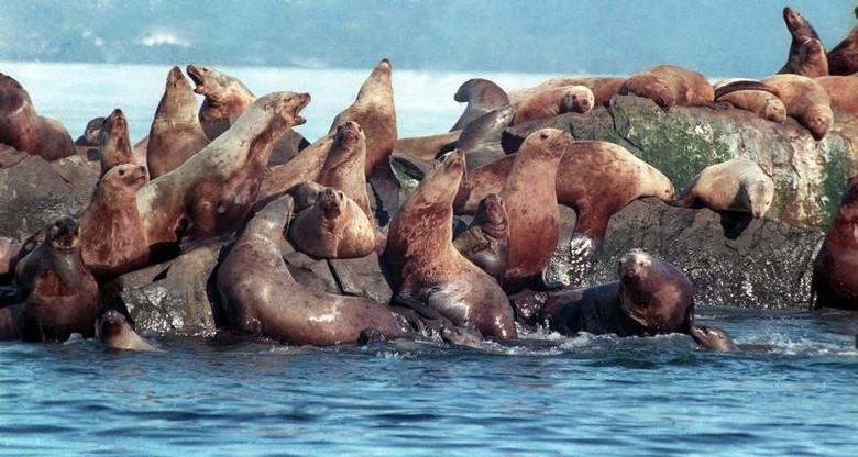 Sea Lions rest on a rock in the oily waters of Prince William Sound near Knight Island, April 2 1989. The oil spill from the Exxon Valdez now covers over 1,000 square miles. REUTERS/Mike Blake (UNITED STATES) BEST QUALITY AVAILABLE - RTXB72Z