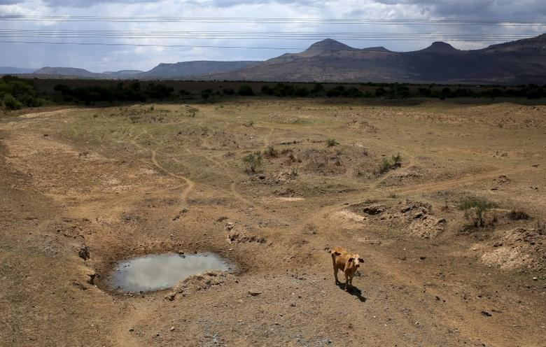 A cow is seen near a dry river outside Utrecht, a small town in the northwest of KwaZulu-Natal, November 8, 2015. REUTERS/Siphiwe Sibeko