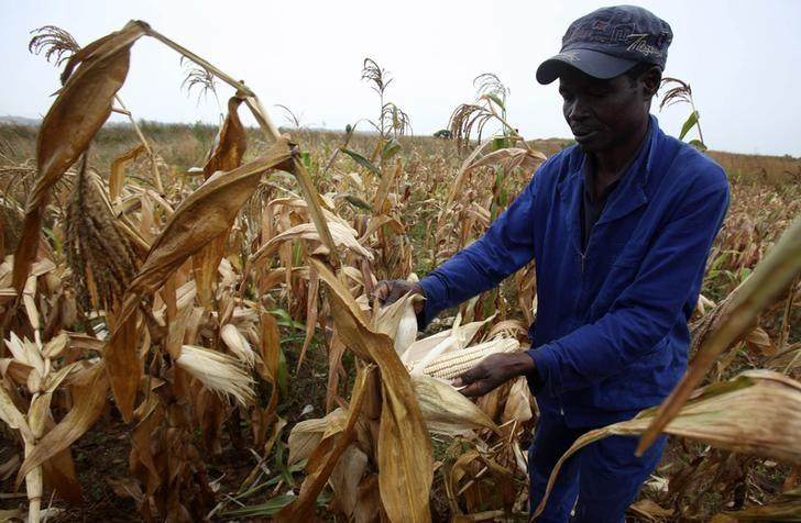 A Zimbabwean man, Graham Matanhire, harvests maize from a field in a peri-urban suburb of Mabvuku in Harare, April 10, 2014. REUTERS/Philimon Bulawayo
