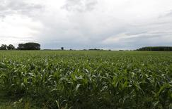 Un maizal en Estación Islas, Argentina, nov 25, 2012. La superficie sembrada con maíz 2015/16 en Argentina será de 5,69 millones de hectáreas, por encima de los 5,4 millones estimados previamente, gracias a la eliminación de impuestos y restricciones oficiales que regían sobre las exportaciones del cereal, dijo el jueves el Ministerio de Agroindustria.  REUTERS/Enrique Marcarian