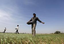 Фермеры вносят удобрения на пшеничном поле близ Ахмедабада. 15 декабря 2015 года. Снизившиеся цены на удобрения на мировом рынке могут продолжить падение и оставить не у дел высокозатратных производителей в Китае, а после истощения накопленных запасов позднее в этом году начнут подниматься, сказал гендиректор Фосагро. REUTERS/Amit Dave