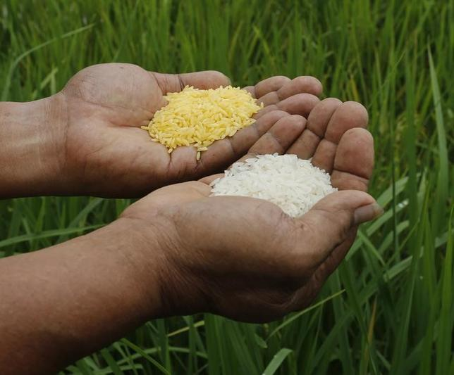 A scientist shows ''Golden Rice'' (L) and ordinary rice at the laboratory of the International Rice Research Institute in Los Banos, Laguna south of Manila, August 14, 2013. REUTERS/Erik De Castro/Files