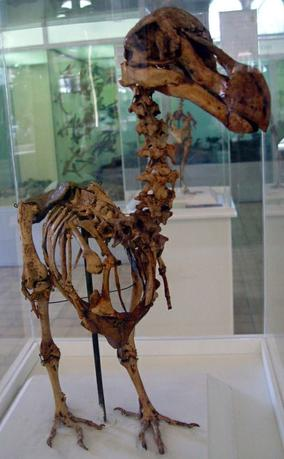 A skeleton of a Mauritius Dodo bird which was found by E. Thirioux, a barber, in a cave at the foot of Le Pouce Mountain at Pailles, which is in the vicinity of the town of Port Louis in year 1900, stands at an exhibition in the Mauritius Institute Museum in Port Louis in this December 27, 2005 file photo.  REUTERS/Files