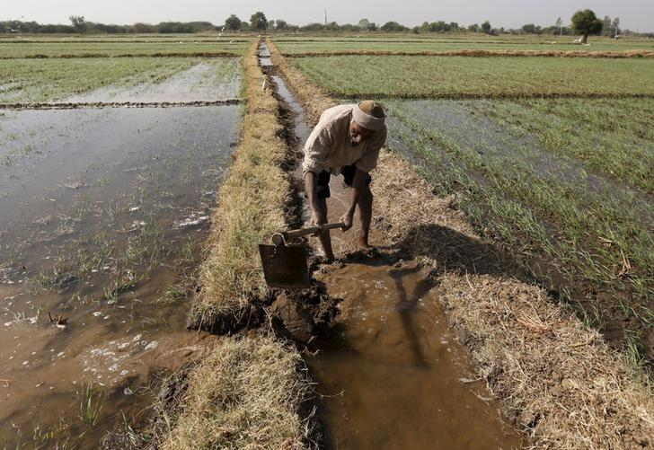 A farmer channels water to irrigate his wheat field on the outskirts of Ahmedabad, India, December 15, 2015.  REUTERS/Amit Dave/Files