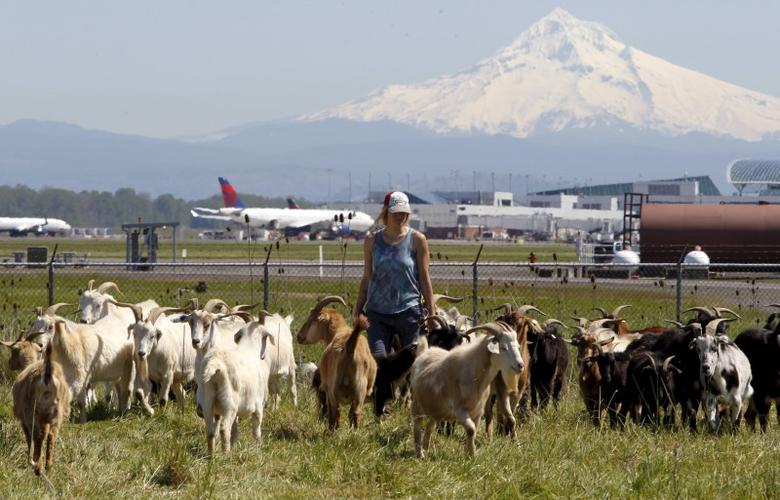 Shepherdess Briana Murphy herds goats at the Portland International Airport in Portland, Oregon, as Mount Hood is seen in the background, April 17, 2015. In a city that loves its goats, the Portland International Airport now has a temporary herd. Forty goats and a llama started munching this week on invasive plants such as blackberries, thistle and Scotch broom near the PDX airfield. The llama's job is to keep away predators like coyotes. Picture taken April 17, 2015.  REUTERS/Steve Dipaola - RTX19KH0
