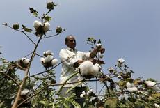 A farmer harvests cotton in his field at Rangpurda village in the western state of Gujarat, India, October 20, 2015. REUTERS/Amit Dave