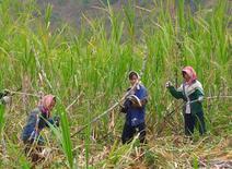 Imagen de archivo de unos trabajadores en un cañaveral en Guanxi, China, ene 17, 2007. El segundo productor de etanol de China, Henan Tianguan Group, está pidiendo a Pekín que fomente el uso de la mezcla de ese combustible con gasolina a nivel nacional en los próximos cinco años, para ayudar a reducir las existencias récord de maíz en el país y las emisiones de gases de los vehículos.    REUTERS/Nakanishi Nao