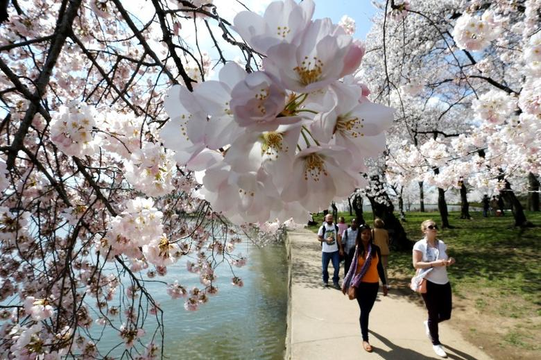 People walk amongst the famed cherry blossoms along the Tidal Basin in Washington April 9, 2014. Washington's display of renowned cherry trees started as a gift from Japan 102 years ago.  REUTERS/Jonathan Ernst