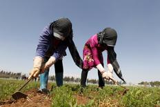 Farmers plant Syrian lentils in a field supervised by ICARDA, the International Center for Agricultural Research in the Dry Areas, in Tirbol village, Bekaa valley, Lebanon March 10, 2016. REUTERS/Mohamed Azakir