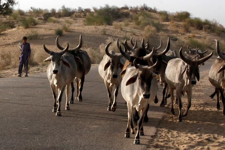 File photo of a boy (L) guiding his herd of cows while heading to his village on the outskirts of Mithi, in the Sindh province March 12, 2014.  REUTERS/Akhtar Soomro