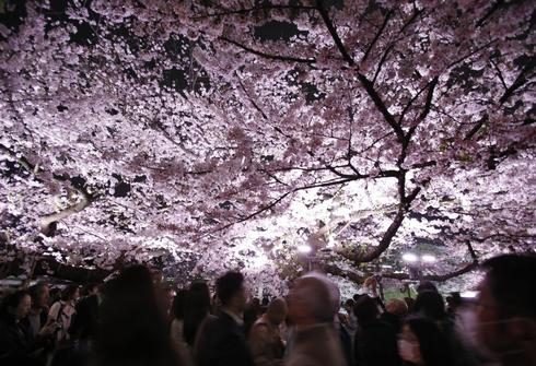 Cherry blossom season