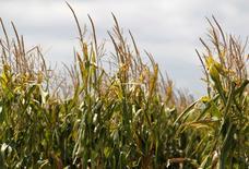 Un maizal en Totoras, Argentina, feb 1, 2012. Argentina planea multiplicar el uso de etanol en combustibles en el 2017 como parte de su política de diversificación de la matriz energética, dijo un ejecutivo de la cámara de bioetanol de maíz, que participó en conversaciones con el Gobierno de centroderecha que asumió en diciembre.  REUTERS/Enrique Marcarian