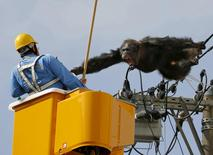 Male chimpanzee Chacha screams after escaping from nearby Yagiyama Zoological Park as a man tries to capture him on the power lines at a residential area in Sendai, northern Japan, in this photo taken by Kyodo, April 14, 2016.  Mandatory credit REUTERS/Kyodo