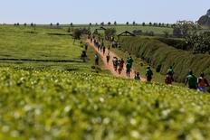 Athletes run through a tea plantation during a national half marathon in the Nandi Hills, near the town of Eldoret in western Kenya, March 20, 2016.  REUTERS/Siegfried Modola