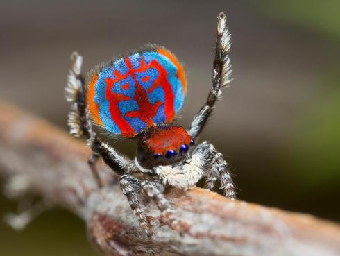 New peacock spider species uncovered