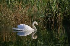 A swan, backdropped by reeds, swims on one of the lakes inside Vacaresti wetlands, in Bucharest, Romania, July 23, 2016. Picture taken July 23, 2016. Inquam Photos/Octav Ganea/via REUTERS