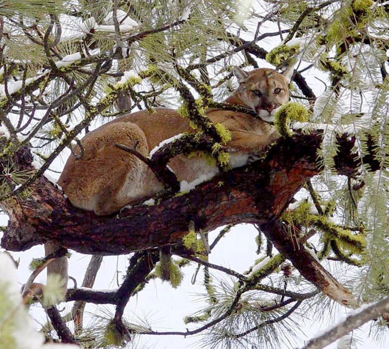 Family Rescues Idaho Girl From Jaws Of Mountain Lion Reuters