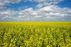 A canola crop used for making cooking oil sits in full bloom on the Canadian prairies near Fort Macleod, Alberta, July 11, 2011. REUTERS/Todd Korol