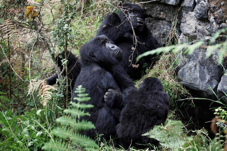 Mountain gorillas from the Kabirizi family sit in Virunga National Park, just north of the eastern Congolese city of Goma, August 19, 2010. REUTERS/Finbarr O'Reilly/File Photo
