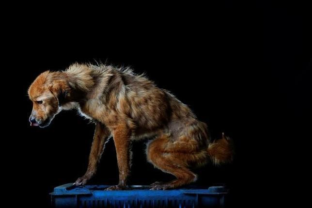 9月7日、深刻な経済危機に見舞われているベネズエラで、通りや公園、仮設シェルターに、痩せ衰えた捨て犬があふれている。同国ロステケスにある犬の保護施設で8月撮影(2016年 ロイター/Carlos Garcia Rawlins)