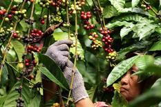Un trabajador recolectando granos de café robusta en una plantación en Banyuwangi, Indonesia , ago 10, 2016. Los futuros de café robusta subieron el martes a máximos de 18 meses por una escasez de suministros, mientras que los precios del arábiga bajaron junto a la moneda de Brasil, su principal productor.     Antara Foto/Budi Candra Setya/via REUTERS IMAGEN DE TERCEROS, CEDIDA A REUTERS COMO UNA CORTESÍA.