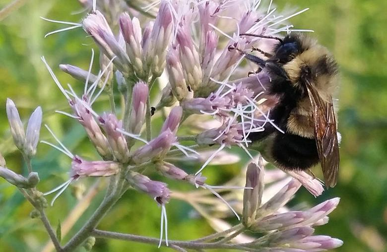 A rusty patched bumble bee which the U.S. Fish and Wildlife Service proposed listing for federal protection as an endangered species is pictured in Madison, Wisconsin, U.S. August 7, 2015. Photo courtesy of Rich Hatfield/Handout via REUTERS
