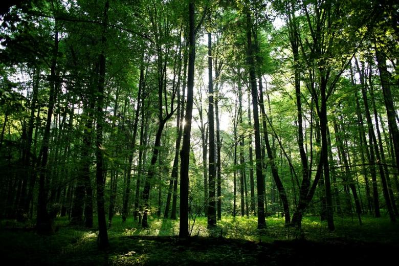 The sun shines through trees in a protected area of Bialowieza forest, the last primeval forest in Europe, near Bialowieza village, Poland, May 30, 2016. REUTERS/Kacper Pempel/File Photo
