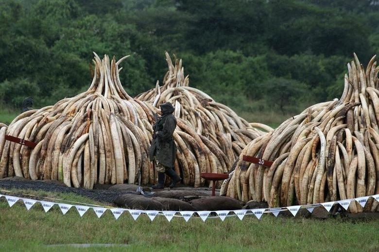 A Kenyan Wildlife Service (KWS) ranger stands guard in the rain near stacks of elephant tusks, part of an estimated 105 tonnes of ivory and a tonne of rhino horn confiscated from smugglers and poachers to be burnt at the Nairobi National Park near Nairobi, Kenya, April 30, 2016.  REUTERS/Siegfried Modola
