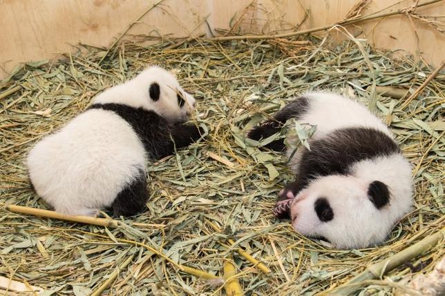10月4日、オスとメスの双子のジャイアントパンダが誕生したウィーンのシェーンブルン動物園は、オスの赤ちゃんの名前を募集すると発表した。写真は9月28日撮影で、シェーンブルン動物園提供(2016年 ロイター)