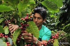Imagen de archivo de un granjero supervisando los granos de café en una plantación en la jungla de Villa Rica. 7 junio 2012. La cosecha de café peruano aumentaría el próximo año en un 25 por ciento, a 7,5 millones de quintales, frente a la producción de este año, debido a una prevista mejor siembra del grano, dijo el lunes el gremio local de empresas más importante del sector. REUTERS/Pilar Olivares