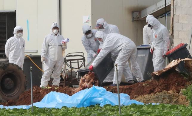 11月18日、韓国の農林畜産食品省は、中部と南部にある2つの養鶏場でH5N6型の鳥インフルエンザウイルスが検出されたと発表した。H5N6型への感染は、韓国では初めて。写真は同国海南郡で殺処分したニワトリを埋める保健当局者ら。17日撮影(2016年 ロイター/Yonhap)