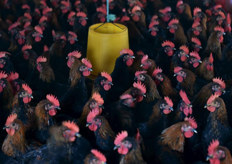Chickens are seen at a poultry farm on the outskirts of Hefei, Anhui province, November 20, 2015. REUTERS/Stringer/File Photo