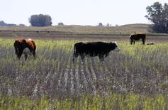 Vacas pastan en un campo de soja inundado en un área cerca de Bolívar, al sudeste de Buenos Aires. 10 de septiembre de 2014.  La balanza comercial de Argentina habría arrojado un déficit de unos 181,1 millones de dólares en noviembre, debido a una baja de las exportaciones industriales y un alza de las importaciones de bienes para la producción, según el promedio de previsiones de un sondeo de Reuters publicado el martes. REUTERS/Enrique Marcarian