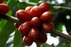 Bayas de café robusta en una plantación en Turrialba, Costa Rica, ago 16, 2016. Las exportaciones de café de Costa Rica cayeron un 26.1 por ciento interanual en diciembre, el tercer mes de la cosecha 2016/2017, a 31,246 sacos de 60 kilogramos, dijo el martes el instituto nacional ICAFE.  REUTERS/Juan Carlos Ulate