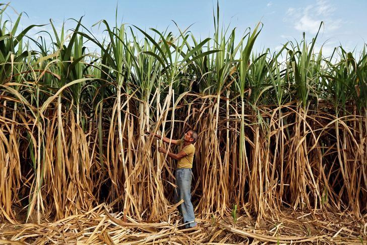 A farmer works in his sugarcane field on the outskirts of Ahmedabad, February 28, 2015. REUTERS/Amit Dave/File photo