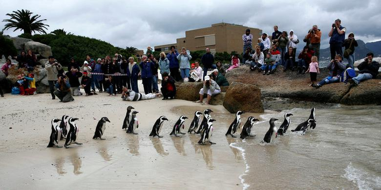 FILE PHOTO: Rehabilitated African Penguins are released at Boulders beach breeding colony in Cape Town September 26, 2009. REUTERS/Mark Wessels/File Photo