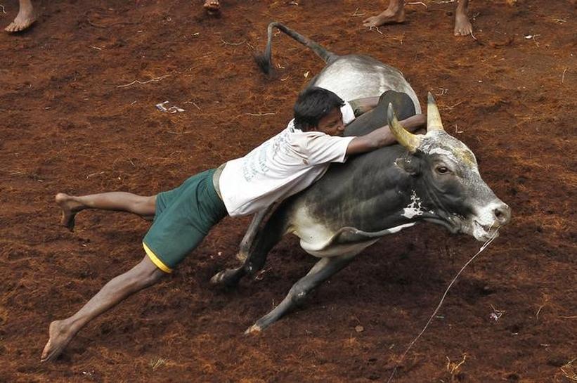 Protesters urge Modi to allow ancient bull-taming rite