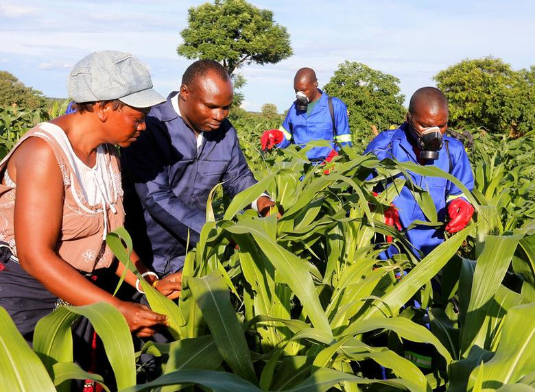 Small scale farmer Mutale Sikaona and agricultural officials examine maize plants affected by armyworms in Keembe district, Zambia, January 6, 2017.  REUTERS/Jean Mandela