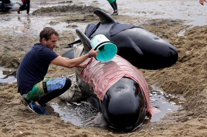 A volunteer looks after one of a pod of stranded pilot whales as they prepare to refloat them after one of the country's largest recorded mass whale strandings, in Golden Bay, at the top of New Zealand's South Island, February 12, 2017.  REUTERS/Anthony Phelps