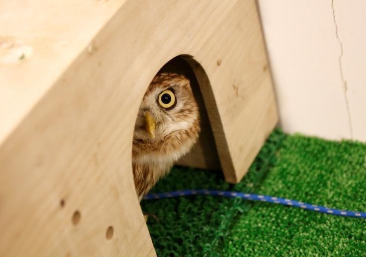 An owl is pictured at an owl cafe in Tokyo, Japan, January 27, 2017. Picture taken January 27, 2017.  REUTERS/Kim Kyung-Hoon