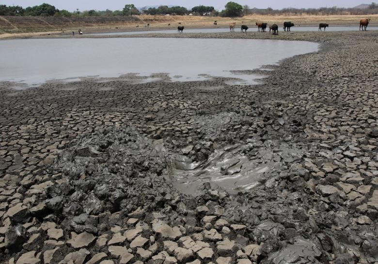 Cattle stand over cracked earth as water levels drop in a dam near Mount Darwin, Zimbabwe, October 26, 2016. Picture taken October 26, 2016. REUTERS/Philimon Bulawayo
