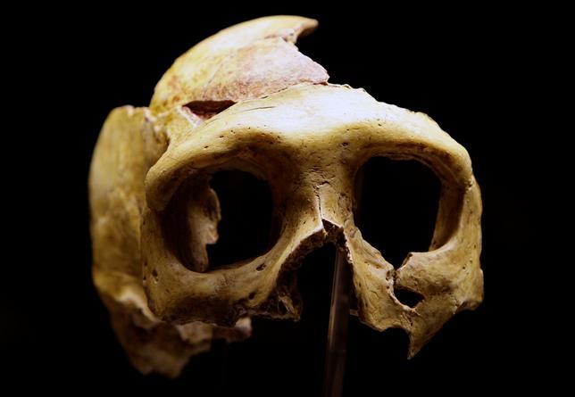 3月8日、豪アデレード大学のチームなどが調査し科学誌ネイチャーに掲載された研究で、人類に最も近い種とされているネアンデルタール人が、毛の生えたサイの仲間や野生のキノコを食べたり、鎮痛や病気治療に植物由来の薬を使用したりしていたことが分かった。写真は2010年2月撮影のネアンデルタール人頭蓋骨のレプリカ(2017年 ロイター/Nikola Solic)