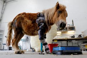Helping amputee animals walk again