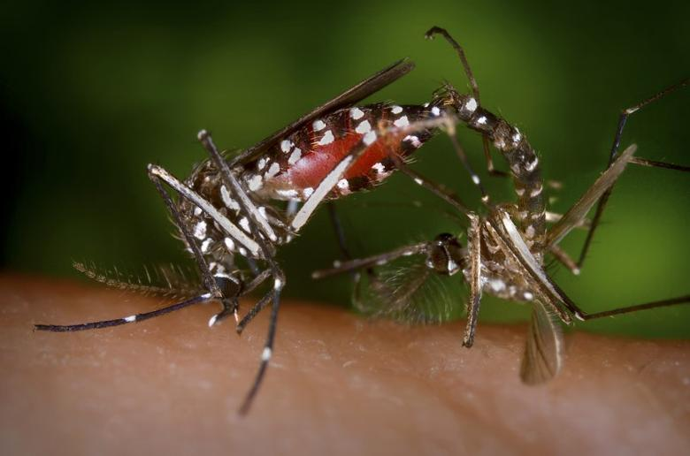 FILE PHOTO: A pair of Aedes albopictus mosquitoes are seen during a mating ritual while the female feeds on a blood meal in a 2003 image from the Centers for Disease Control (CDC).  REUTERS/Centers for Disease Control/James Gathany/Handout via Reuters